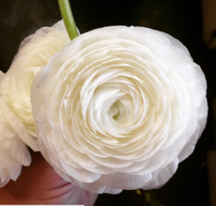 ranunculus floral meaning